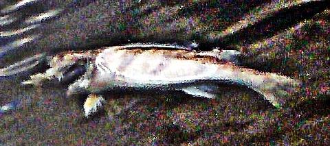 Angeschwemmter Zander(Sander lucioperca(L. 1758))
