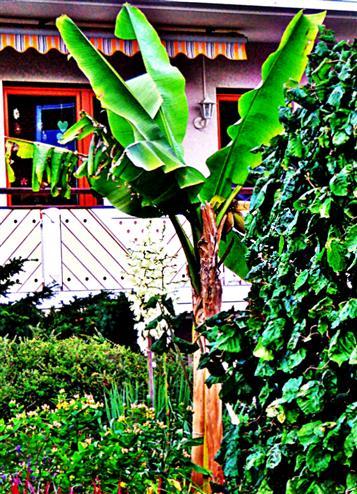 Bananenpflanze(Musa(L.))