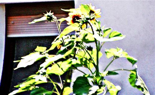 Gewöhnliche Sonnenblume(Helianthus annuus(L.)) im Nachbargarten nördlich des Altenpflegeheims Sinn