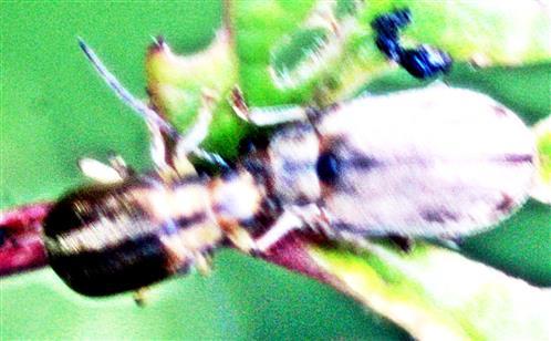 Schneeball-Blattkäfer(Pyrrhalta viburni(Paykull 1799))