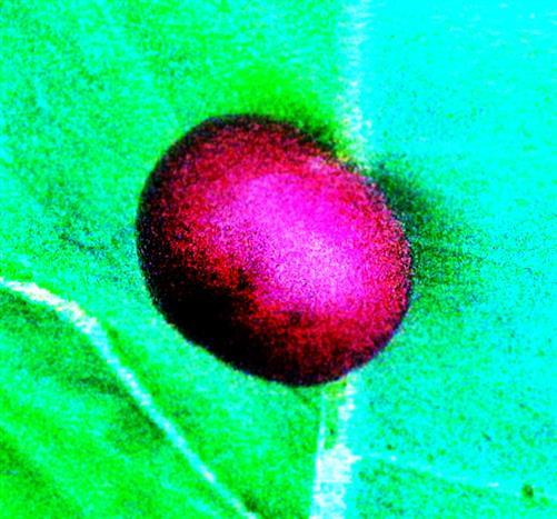 Galle der Kleinen Gallapfelwespe(Cynips divisa(Hartig 1840)) am Blatt einer Stieleiche(Quercus robur(L.))