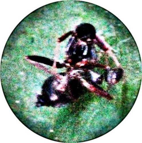 Chitinhülle(Exuvie) eines Kurzflüglers(Staphylinidae)
