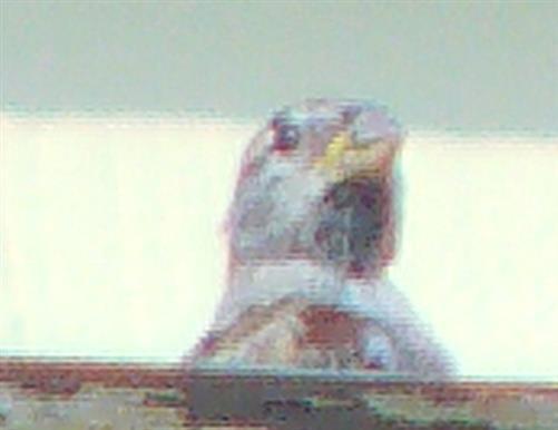 Weiblicher Haussperling(Passer domesticus(L. 1758)) späht vom Balkongeländer