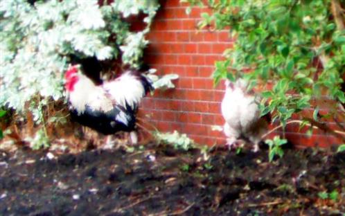 Italienische Haushühner an einer Hauswand