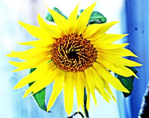 Kleine Sonnenblume(Helianthus annuus(L.))