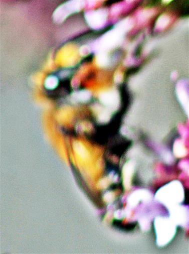Braune Weiden-Sandbiene(Andrena praecox(Scopoli 1763)) 01