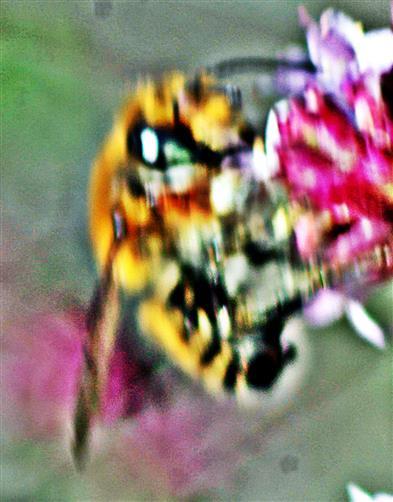 Braune Weiden-Sandbiene(Andrena praecox(Scopoli 1763)) 02