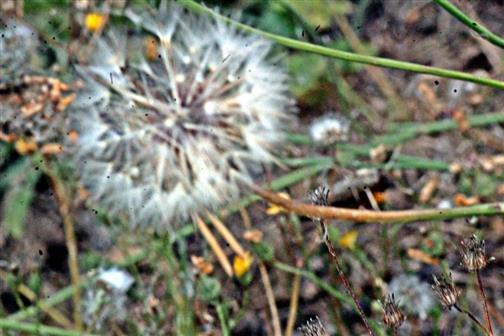 Pusteblume des Herbst-Löwenzahns(Scorzoneroides autumnalis(L.)Moench)