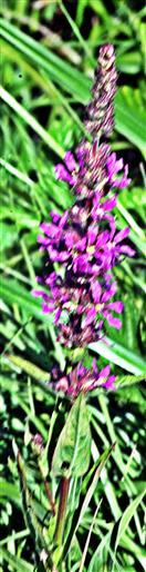 Gewöhnlicher Blutweiderich(Lythrum salicaria(L. ))