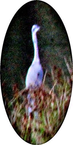 Graureiher(Ardea cinerea(L. 1758)) am Nordostufer des Lohmühlenweihers auf Beute lauernd