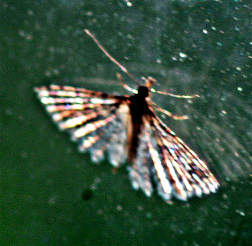 Geißblattgeistchen(Alucita hexadactyla(L. 1758)) Zuflug