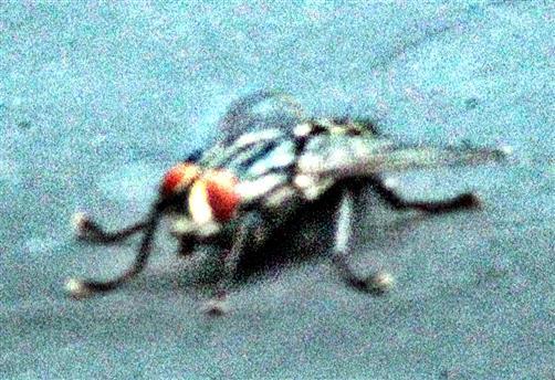 Graue Fleischfliege(Sarcophaga carnaria(L.))