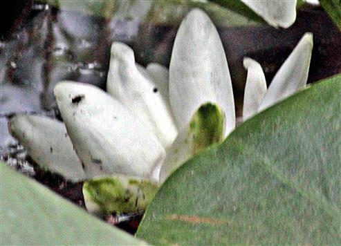 Blüte einer Weißen Seerose(Nymphaea alba(L.))