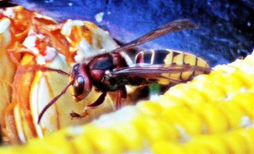 Europäische Hornisse(Vespa crabro(L. 1758)) auf Kompost