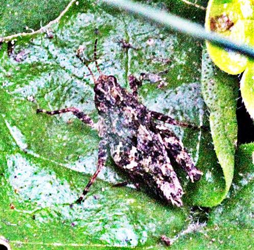 Nymphe der Rotflügeligen Ödlandschrecke(Oedipoda germanica(Latreille 1804))