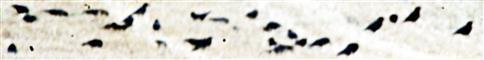 Saatkrähen(Corvus frugilegus(L. 1758)) auf einem Stoppelfeld
