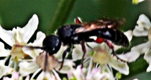 Gemeine Rollwespe(Tiphia femorata(Leach 1815))