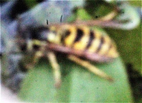 Arbeiterin einer Gemeinen Wespe(Vespula vulgaris(L. 1758)) trinkend