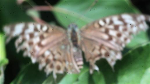 Kaisermantel(Argynnis paphia(L. 1758))(abgeflogenes Exemplar)