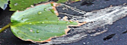 Blatt eines Gewöhnlichen Froschlöffels(Alisma plantago-aquatica(L.))