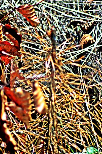 Abgestorbene junge Waldkiefer(Pinus sylvestris(L.))(Naturverjüngung am Waldrand)