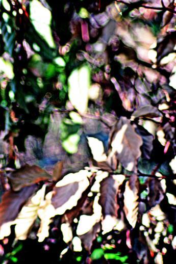 Vertrocknetes Laub einer junge Rotbuche(Fagus sylvatica(L.))