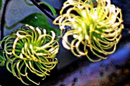 Zwei Fruchtstände(mit Nussfrüchte(Achänen)) einer Waldrebe(Clematis(L.))