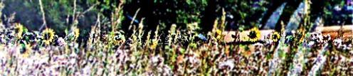 Sonnenblumen(Helianthus annuus(L.))