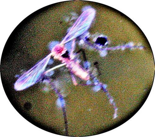Gemeine Stechmücke(Culex pipiens(L. 1758)) ertrunken