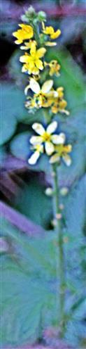 Kleiner Odermennig(Agrimonia eupatoria(L.))