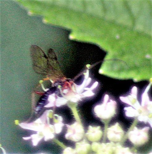 Kleine Brackwespe(Braconidae) beim Blütenbesuch