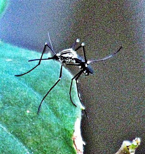 Stechmücke(Aedes geniculatus(Olivier 1791))