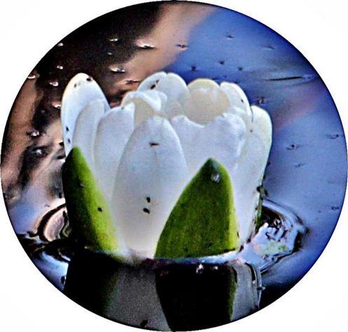 Knospe einer weißen Seerose(Nymphaea alba(L.))