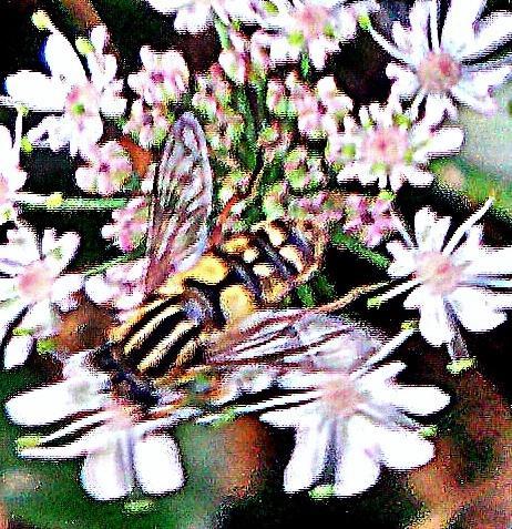 Gemeine Sumpfschwebfliege(Helophilus pendulus(L. 1758))