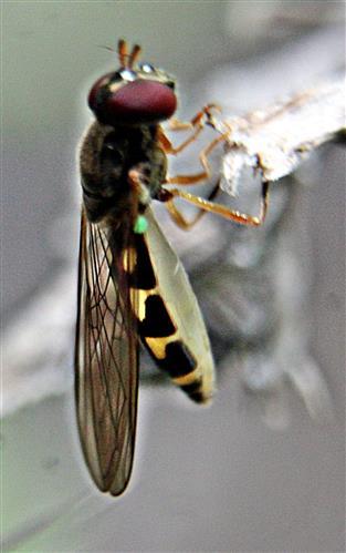 Matte Schwarzkopfschwebfliege(Melanostoma scalare(Fabricius 1794))