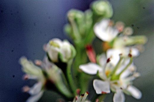 Blüten einer Lorbeerkirsche(Prunus laurocerasus(L.))