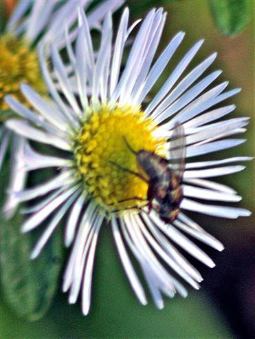 Fliege(Coenosia attenuata(Stein 1903)) auf Feinstrahl(Erigeron annuus(L. )Desf.))