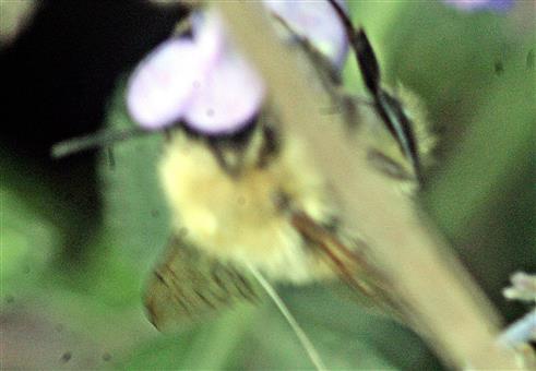 Ackerhummel(Bombus pascuorum(Scopoli 1763))(heller Typus)