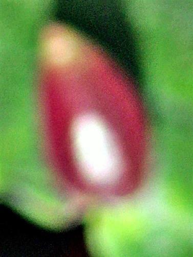 Galle an Buche von der Buchengallmücke(Mikiola fagi(Hartig))