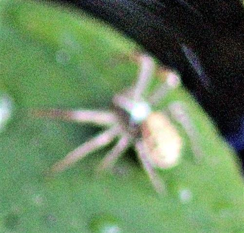 Braune oder Busch-Krabbenspinne(Xysticus cristatus(Clerck 1757))
