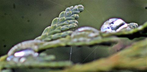 Regentropfen auf einem Zweig des Abendländischen Lebensbaumes(Thuja occidentalis(L.))