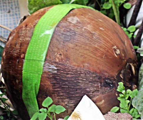 Kokosnuss [als Frucht der Kokosnusspalme(Cocos nucifera(L.))]