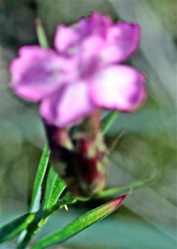Bart-Nelke(Dianthus barbartus(L.))