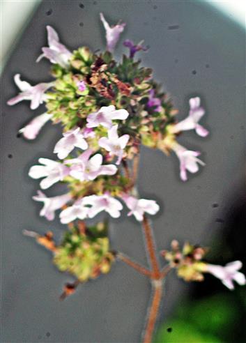 Majoran(Origanum hortensis(L.))