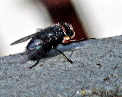 Schmeißfliege(Calliphora vomitoria(L. 1758))