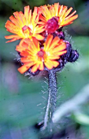 Orangerotes Habichtskraut(Hieracium aurantiacum(L.))