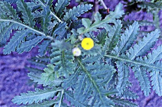 Blüten des Rainfarns(Tanacetum vulgare(L.))