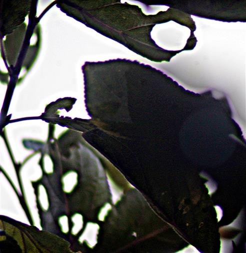 Lochfraßkunst an Pflaumenblättern(Prunus domestica(L.)) 03