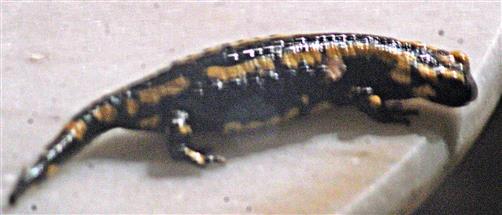 Gebänderter Feuersalamander(Salamandra salamandra ssp. terrestris(L. 1758))