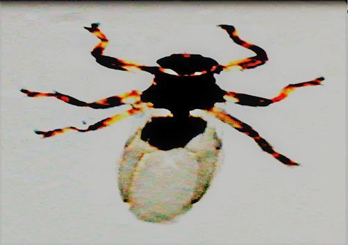 Hirschlausfliege(Lipoptena cervi(L. 1758))